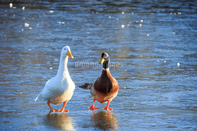 氷上を歩くアヒルと青首アヒル(合鴨)の写真素材 [FYI01487903]