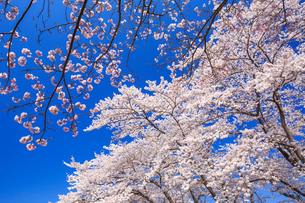 桜と青空の写真素材 [FYI01488066]