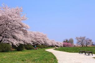 北上展勝地の桜並木の写真素材 [FYI01488253]