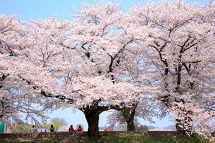 桜咲く北上展勝地の写真素材 [FYI01488332]