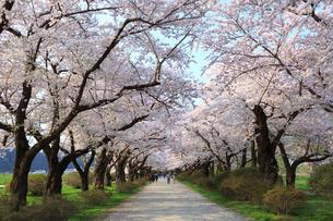 北上展勝地の桜並木の写真素材 [FYI01488407]
