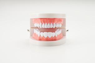 白い背景の歯の模型の写真素材 [FYI01488956]