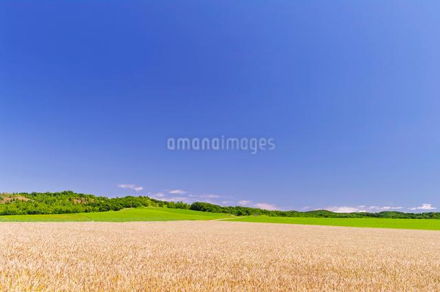 実り豊かな小麦畑と緑の丘の写真素材 [FYI01489322]