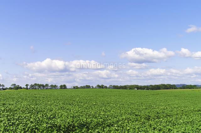 広い大豆畑と青空の写真素材 [FYI01489417]