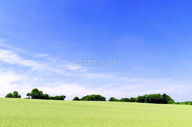 初夏の広い小麦畑の丘の写真素材 [FYI01489567]