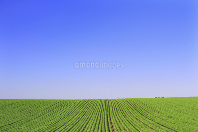 丘の秋まき小麦の畝と青空の写真素材 [FYI01489630]