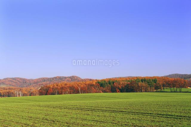 晩秋の紅葉した森と緑の秋まき小麦畑の写真素材 [FYI01489640]