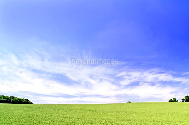 初夏の小麦畑の丘と青空の写真素材 [FYI01489651]