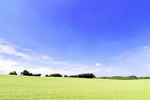 初夏の広い小麦畑の丘の写真素材 [FYI01489695]