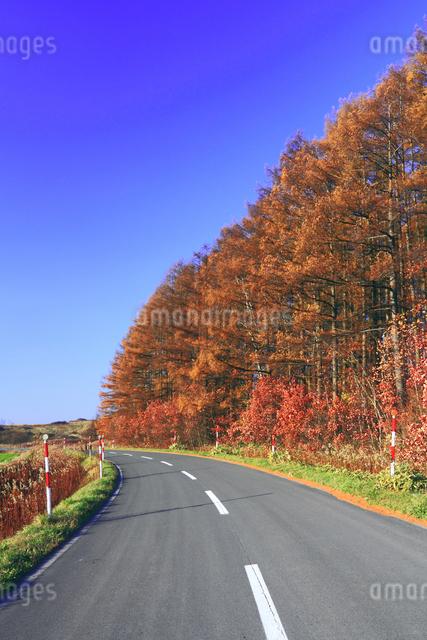 紅葉した唐松林とカーブした道路の写真素材 [FYI01489815]