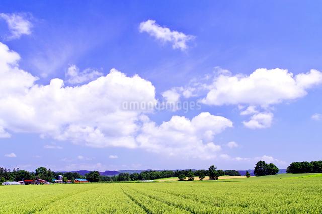 広い小麦畑と雲流れる青空の写真素材 [FYI01489854]