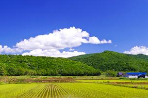 緑の稲田と新緑の山の写真素材 [FYI01489883]