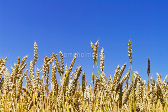 青空と収穫期の小麦の穂の写真素材 [FYI01489885]