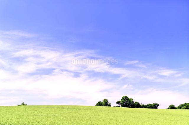 初夏の小麦畑の丘の写真素材 [FYI01489949]
