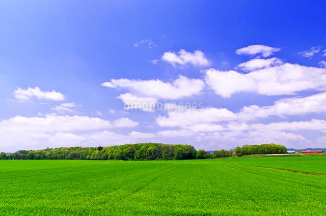 緑の小麦畑の丘の写真素材 [FYI01490021]