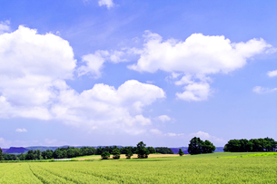 緑の小麦畑と雲流れる空の写真素材 [FYI01490056]