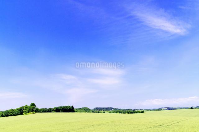 初夏の広大な小麦畑の丘と青空の写真素材 [FYI01490110]