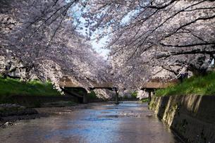 五条川 桜の写真素材 [FYI01490229]