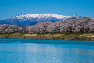 白石川一目千本桜と蔵王の写真素材 [FYI01490303]