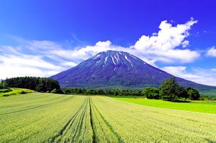初夏の羊蹄山と青い小麦畑の写真素材 [FYI01490514]