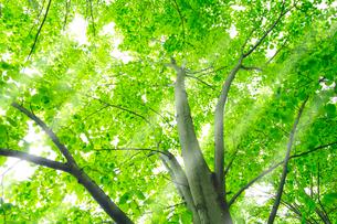 新緑のシナノキと木漏れ日の写真素材 [FYI01490594]