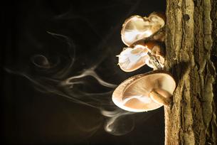 シイタケの胞子飛散の写真素材 [FYI01491316]
