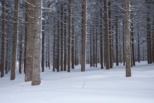 ドイツトウヒ林雪景色の写真素材 [FYI01491643]