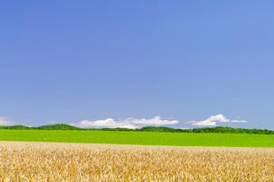 小麦畑と緑の丘と青空の写真素材 [FYI01491900]