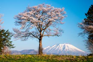 岩手牧場から一本桜と岩手山の写真素材 [FYI01492174]