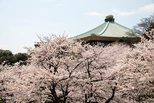 満開の千鳥ヶ淵の桜の写真素材 [FYI01492198]