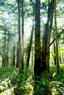 上高地朝の林の写真素材 [FYI01492364]