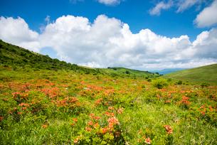 レンゲツツジ咲く霧ヶ峰の写真素材 [FYI01492451]