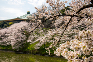 満開の千鳥ヶ淵の桜の写真素材 [FYI01492658]