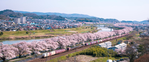 満開の白石川堤一目千本桜とJR東北本線貨物列車の写真素材 [FYI01492979]