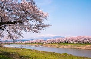 蔵王連峰と満開の白石川堤一目千本桜並木の写真素材 [FYI01493064]