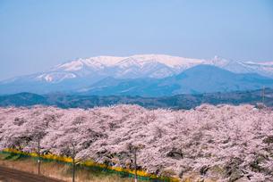 蔵王連峰と満開の白石川堤一目千本桜の写真素材 [FYI01493068]