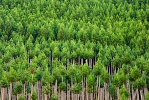 北山杉北山町の山林の写真素材 [FYI01493240]