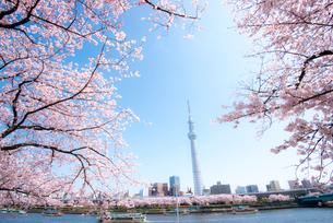 桜咲く墨田公園から東京スカイツリーの写真素材 [FYI01493315]