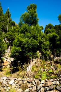 京都北山杉の台杉の写真素材 [FYI01493411]