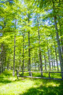 白樺高原若葉のカラマツ林の写真素材 [FYI01493569]