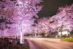 東京ミッドタウン,ライトアップの桜並木の写真素材 [FYI01493641]