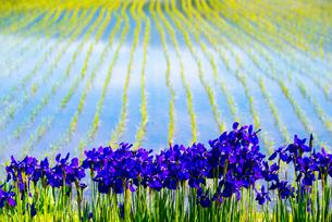 アヤメの花と水田の写真素材 [FYI01493643]