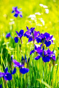 アヤメの花と水田の写真素材 [FYI01493727]