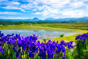 アヤメ咲く田園と八ヶ岳連峰に空の表情の写真素材 [FYI01493804]