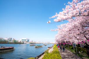 桜咲く墨田公園から隅田川御花見の屋形船の写真素材 [FYI01493831]