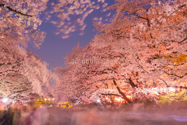 上野公園夜桜の写真素材 [FYI01493880]