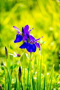 アヤメの花と水田の写真素材 [FYI01494017]
