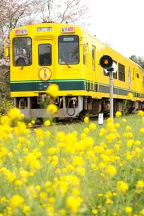 路線の菜の花といすみ鉄道の写真素材 [FYI01494371]