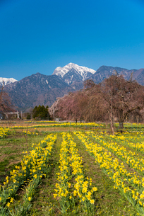 スイセンお花畑と南アルプス連峰甲斐駒ケ岳の写真素材 [FYI01494432]