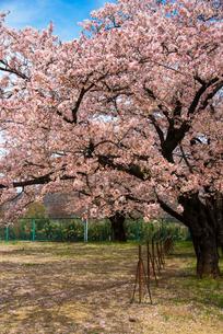 清哲町 校庭の桜の写真素材 [FYI01494447]